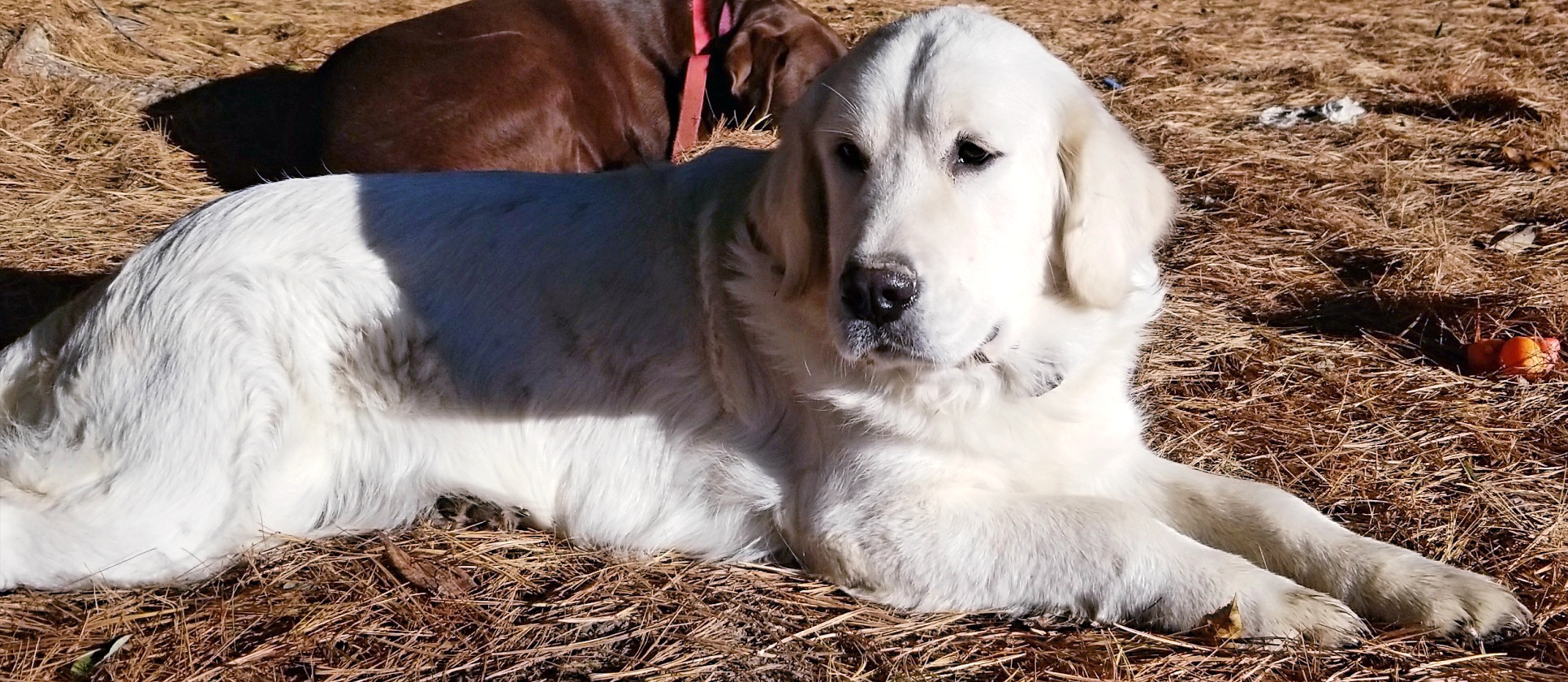English Golden Lab Puppies for Sale in Indiana | Strong Retrievers