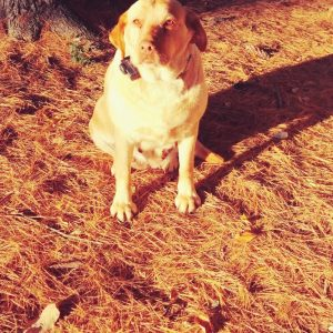Yellow Lab Puppies for Sale in Indiana